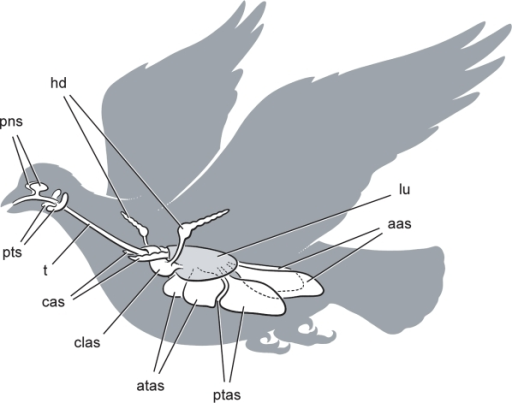 Cranial sinus and postcranial air sac systems in birds.All pneumatic spaces are paired except the clavicular air sac, and the lungs are shaded. Abbreviations: aas, abdominal air sac; atas, anterior thoracic air sac; cas, cervical air sac; clas, clavicular air sac; hd, humeral diverticulum of the clavicular air sac; lu, lung; pns, paranasal sinus; ptas, posterior thoracic air sac; pts, paratympanic sinus; t, trachea.