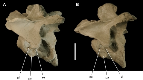 Mid cervical vertebrae of the theropod Aerosteon riocoloradensis.Cervical vertebrae 4 and 6 (MCNA-PV-3137; cast) in left lateral view. (A)-Cervical 4. (B)-Cervical 6. Scale bar equals 5 cm. Abbreviations: pa, parapophysis; pl, pleurocoel; se, septum.