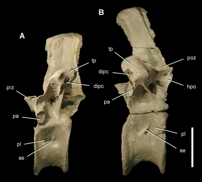 Posterior dorsal vertebrae of the theropod Aerosteon riocoloradensis.Dorsal vertebrae 11 and 14 (MCNA-PV-3137; cast) in left lateral view. (A)-Dorsal 11. (B)-Dorsal 14. Scale bar equals 10 cm. Abbreviations: dipc, diapophyseal canal; hpo, hyposphene; pa, parapophysis; pl, pleurocoel; poz, postzygapophysis; prz, prezygapophysis; se, septum; tp, transverse process.
