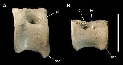 Caudal vertebrae of the theropod Aerosteon riocoloradensis.Anterior and mid caudal centra (MCNA-PV-3137; cast) in left lateral view. (A)-Anterior caudal centrum. (B)-Mid caudal centrum. Scale bar equals 10 cm. Abbreviations: ach, articular surface for a chevron; pl, pleurocoel; se, septum.