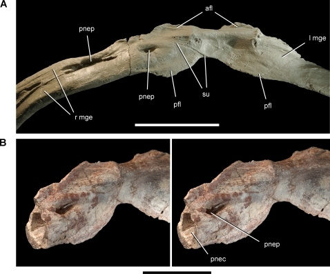 Gastralia of the theropod Aerosteon riocoloradensis.Coossified medial gastral elements from anterior end of cuirass (MCNA-PV-3137). (A)-Coossified gastralia (cast) in ventral view. (B)-Stereopairs of the medial portion of one gastralium showing the pneumatopore and lumen inside the shaft in ventrolateral view. Scale bars equal 10 cm in A and 5 cm in B. Abbreviations: afl, anterior flange; l, left; mge, medial gastral element; pfl, posterior flange; pnec, pneumatocoel; pnep, pneumatopore; r, right; su, suture.