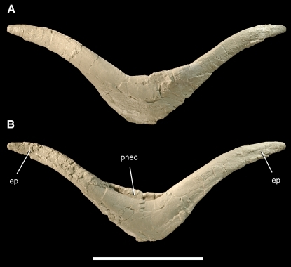 Furcula of the theropod Aerosteon riocoloradensis.Furcula (MCNA-PV-3137; cast) in anterior (A) and posterior (B) views. Scale bar equals 10 cm. Abbreviations: ep, epicleideum; pnec, pneumatocoel.