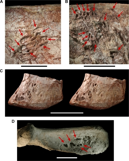 Pneumatopores on the left ilium of the theropod Aerosteon riocoloradensis.Detail views of the left ilium (MCNA-PV-3137). (A)-Pneumatopores on the base of the preacetabular process in lateral view. (B)-Pneumatopores on the central iliac blade in medial view. (C)-Stereopairs of the pubic peduncle in lateral view showing pneumatopore complex. (D)-Pneumatopores on the brevis fossa of the postacetabular process in ventral view; largest pneumatopore (4 cm in transverse diameter) opens posteriorly (to the right) just posterior to five smaller ventrally-facing pneumatopores (marked). A, B, and D are from a cast of MCNA-PV-3137 to reduce color distraction. Scale bars equal 5 cm in A and 10 cm in B, C and D. Arrows point to pneumatopores.