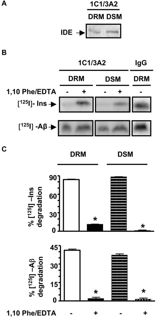 DRM- and DSM-associated IDE pools are proteolytically active in vitro. A- Western blotting with BC2 anti-IDE polyclonal antibody of immunoprecipated IDE from isolated DRM and DSM fractions of rat brain using 1C1/3A2 anti-IDE monoclonal antibodies. B- Representative phosphorimage scan showed degradation of [125I]-insulin and [125I]-Aβ after incubation with anti-IDE immunoprecipitates from DRM and DSM in the presence of a protease inhibitor cocktail (as defined in Antibodies and Chemicals) with or without metalloprotease inhibitors (EDTA/1,10 phenantroline). IgG, unrelated immunoglobulin used as a negative control for the immunoprecipitation. The intensity of the band in the presence of unrelated IgG and after incubation in degradation buffer was referred as intact substrate (0% degradation). C- Bars represent the semi-quantitative analysis of the percentage of [125I]-insulin and [125I]-Aβ degradation by IDE from DRMs and DSMs in the presence and absence of 1,10-Phe/EDTA (n = 3; *p < 0.001).
