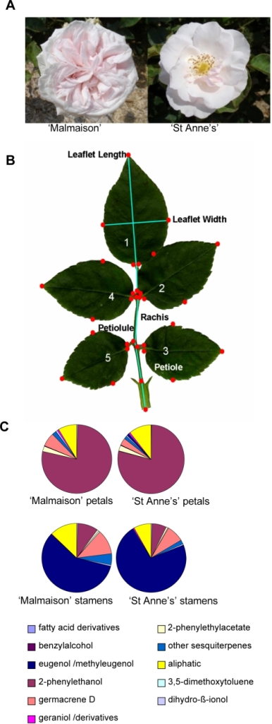 'Malmaison' and 'St Anne's' rose varieties display highly similar phenotypes, except for floral architecture.(A) Contrasting floral morphologies of R. x hybrida 'Malmaison' (double flower, left) and its genetically related variety R. x hybrida 'St Anne's' (semi-double flower, right). (B) Morphometric analysis of leaves. The photo displays a rose leaf and the 32 landmarks (red dots) that were used for measurements. No significant difference could be observed in leaf morphology between the two rose hybrids. (C) Gas Chromatography-Flame Ionization Detector (GC-FID) analysis on solid/liquid extracts of petals and stamens of R. x hybrida 'St Anne's' and 'Malmaison', showing that individually, the floral organs (petals and stamens) produce similar volatile compounds in both cultivars.
