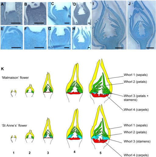 "Longitudinal sections of floral meristems and flowers during floral organogenesis.(A–J) Sections (stained with toluidine blue) of ""Malmaison"" (A–D,I) and ""St Anne's"" (E–H, J) were observed, from the floral meristem stage (stage 1; A, E) until carpel formation (stage 4, I, J). Scale bar equals 150 µm for A to H and 1 mm for I and J. (K) Analysis of floral organogenesis in ""Malmaison"" (top) and ""St Anne's"" (bottom). Sepals, petals, stamens and carpels are labeled in yellow, green, blue and red colors, respectively. The different whorls composition is displayed as follows: whorl 1 comprises 5 sepals; whorl 2 is composed of the first 10 petals; whorl 3 is composed of stamens in ""St Anne's"" and petals plus stamens in ""Malmaison""; whorl 4 is composed of carpels. Numbers 1 to 5 at the bottom define the flower development stages. Note that ""Malmaison"" has an enlarged floral receptacle starting from stage 4 (I)."