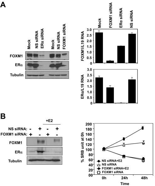 Effects of ERα and FOXM1 silencing on the expression of FOXM1 and response to E2 induction in MCF-7 cellsA) MCF-7 cells were transiently transfected with ERα, FOXM1 or control smart pool siRNA, and 72 h after transfection cells were analysed by western blot using specific antibodies as indicated and by qRT-PCR. B) MCF-7 cells were transiently transfected with smart pool siRNA against FOXM1, incubated with E2 and analysed by western blotting. SRB assays were also performed on these cells, indicating that the knockdown of FOXM1 decreases the cell proliferation rate and renders MCF-7 cells unresponsive to E2 stimulation. C) OHT-resistant TAMR4 MCF-7 cells were transiently transfected with smart pool siRNA against FOXM1 or control siRNA pool (non-specific/n.s. siRNA) and analysed by western blotting (upper panel). These transfected cells were incubated with or without E2 (middle panel), and with or without OHT in the presence of E2 (lower panel). SRB assays were performed on these cells, indicating that the knockdown of FOXM1 sensitizes the resistant TAMR4 MCF-7 cells to OHT and diminishes their responsiveness to E2 stimulation. Statistical analysis was performed on the proliferation results at 72 h. ** denotes very significant, P<0.01 and * significant, P<0.05. The results show mean+SEM of triplicate measurements.