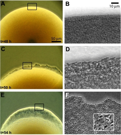 P. dendritiformis switch from cocci to rods. Low (A, C, and E)- and high (B, D, and F)-resolution pictures of a colony grown from a single coccus on LB agar. The colony contains only cocci 48 h after inoculation (A and B). At 50 h (C and D), rods, swimming individually, appear at the colony edge. Four hours later (E and F), the rods are swarming. Rods appeared nearly simultaneously (within ~10 min) at multiple locations along the edge of the same colony and other colonies grown on the same plate.