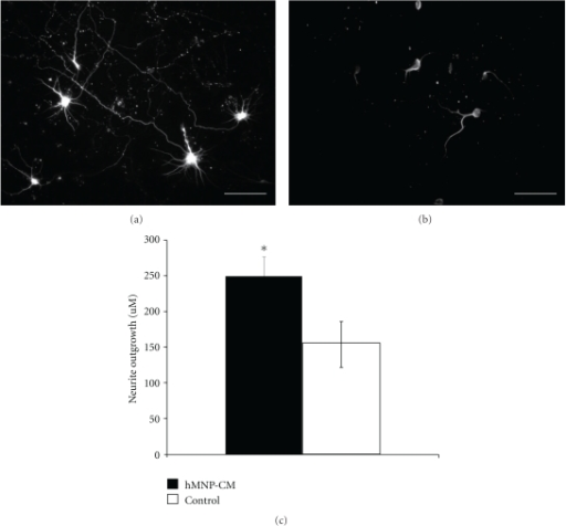 hMNPs cause neurite branching in vitro. Neurite length was significantly longer (P < .05) in cortical neuron cultures exposed to hMNP-conditioned media (a) for 7 days as compared to cortical neuron cultures exposed to control MN differentiation media (b). (c) The length of neurites in cultures exposed to hMNPconditioned media as compared to those exposed to control media was significantly higher (P < .05). Bar = 50 μm.