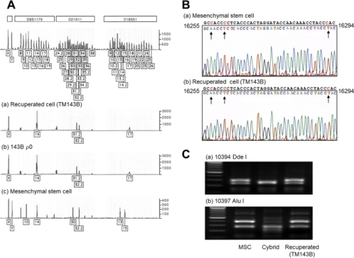Genetic analysis of rapidly proliferating cells survived after coculture.(A) The cells survived after coculture showed genetic identities with 143B ρ0 cell nuclei. The boxed numbers and corresponding peaks represent locations of polymorphisms for each short tandem-repeat marker. (B) Since ρ0 cells did not have any detectable mtDNA, the mtDNA of the cells survived after coculture came solely from the MSCs. The hypervariable region sequences of the cells were identical with the MSCs. The arrows indicate sequence variations compared to the Cambridge reference sequence. (C) PCR-RFLP for 10394 Dde I and 10397 Alu I of mtDNA. The recuperated cells in the coculture experiment with R6G treatment to a cybrid harboring mtDNA with +10394 Dde I and +10397 Alu I were revealed to have mtDNAs with both −10394 Dde I and −10397 Alu I, both of which were identical to the MSCs.
