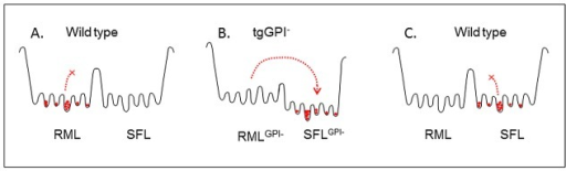 "Conjectural free energy profile.(A) The RML quasi-species in wild-type brain are confined to a set of wells separated from those of the SFL quasi-species by a high activation energy barrier. (B) In tgGPI− brain the transition to the ""SFLGPI-"" set of conformations is enabled by a lower activation energy barrier. (C) SFLGPI- prions introduced into wild-type brain can now occupy, and are trapped in, the set of ""SFL wells"" which was not accessible to RML prions in (A)."