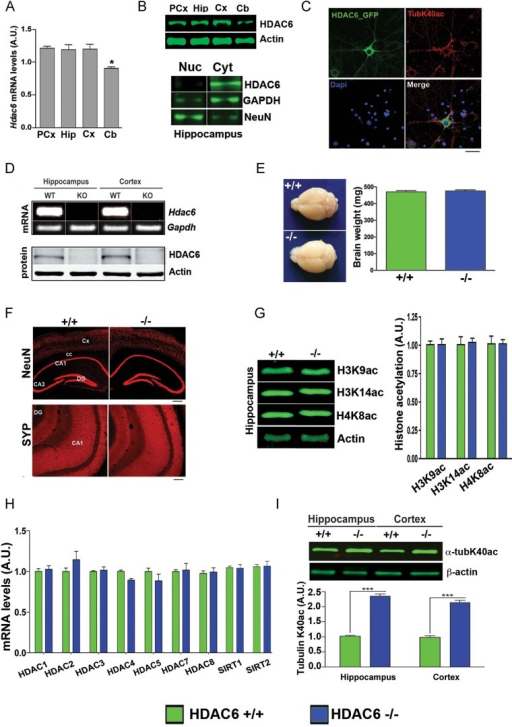 Loss of Hdac6 increases α-tubulin acetylation in the hippocampus and cortexError bars indicate SEM (n = 3, Student's t-test, p < 0.0001). PCx, pre-frontal cortex; Hip, hippocampus; Cx, cortex; Cb, cerebellum; Nuc, nuclear lysates; Cyt, cytoplasmic lysates; HDAC6+/+, wild type; HDAC6−/−, Hdac6 knockout.Quantitative real-time PCR showing normalized Hdac6 expression in different mouse brain regions. (n = 4, Student's t-test, PCx versus Cb: p = 0.0001, Hip versus Cb: p = 0.0107, Cx versus Cb: p = 0.0066).Upper panel: Immunoblot analysis showing the HDAC6 protein levels in different brain regions. Lower panel: Immunoblot showing the predominant localization of HDAC6 to the cytoplasm.Representative images showing cytoplasmic localization of viral-expressed HDAC6-GFP protein in primary hippocampal neurons (Scale bar: 10 µm).PCR (upper panel) and immunoblot analysis (lower panel) confirming loss of Hdac6 mRNA and protein in the hippocampus and cortex of Hdac6−/− mice.Representative brain images and brain mass in adult Hdac6−/− and wild type mice.Representative images showing similar immunoreactivity of NeuN (scale bar: 100 µm) and SYP (scale bar: 50 µm) in Hdac6−/− and wild type mice.Immunoblot (left) showing hippocampal histone acetylation in Hdac6−/− mice and wild type littermates along with densitometric quantification (right).qPCR analysis of mRNA levels of other HDACs in Hdac6−/− mice and wild type littermates.Quantitative immunoblot analysis showing elevated α-tubulin K40ac levels in the hippocampus and cortex of Hdac6−/− mice compared to wild type mice.