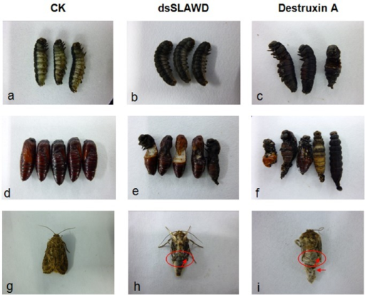 The phenotypic changes in S. litura after treatment with dsSLAWD or DA.(a,b,c) Prepupal phenotypic changes of S. litura; (d,e,f ) pupal phenotypic changes of S. litura; (g,h,i) adult phenotypic changes of S. litura. The arrows indicate shortened or deformed wing growth in the eclosion adult of S. litura.