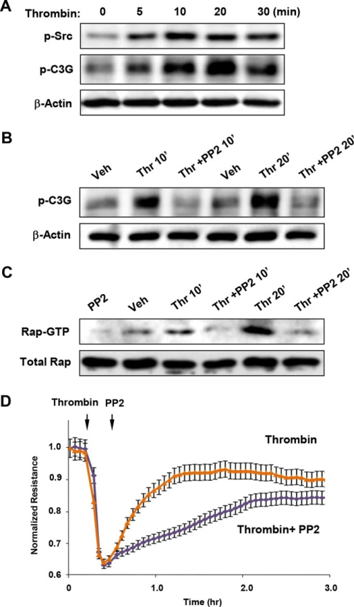 Role of Src and C3G phosphorylation in Rap1 activation and EC barrier restoration after thrombin. (A) Time-dependent Src activation was monitored by immunoblotting with p-Y416–specific antibody reflecting the Src-activated state. (B) ECs were stimulated with thrombin (0.5 U/ml, 5 min); this was followed by addition of vehicle or the Src kinase inhibitor PP2 (5 μM). C3G tyrosine phosphorylation was detected by Western blot with phosphospecific antibody. Reprobing with β-actin antibody was used as normalization control. (C) ECs were stimulated with thrombin (0.5 U/ml, 5 min); this was followed by addition of vehicle or the Src kinase inhibitor PP2 (5 μM). Rap1 activation was evaluated using Rap1-GTP pull-down assay and normalized to the total Rap1 content in cell lysates. (D) HPAECs plated on microelectrodes were treated with thrombin (5 min); this was followed by addition of PP2 (5 μM). Measurements of TER were performed over 3 h. Arrows indicate times of thrombin and PP2 addition.