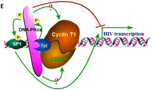 DNA-PKcs modulates HIV transcription via its kinase activity and by forming a complex with CDK9, Cyclin T1 and Tat. A, The impact of DNA-PKcs expression levels on HIV transcription. MT2 cells were transfected with or without a DNA-PKcs over-expression plasmid, shRNA plasmid, HIV-LTR, RL-CMV and flag-Tat plasmids, as indicated. B, The plasmids, as indicated, were transfected into MT2 cells and DMSO (control) or NU7026 (DNA-PKcs kinase inhibitor) were added to the cell culture 12 h after transfection. The dual luciferase activity was assayed 48 h after transfection for both A and B. C, After treatment with or without recombinant His-tagged Tat protein (2 µg/ml) for 4 h, the total cell lysates were immunoprecipitated with normal IgG, anti-DNA-PKcs, anti-Cyclin T1 or anti-CDK9 antibody, and a western blot was performed using the indicated antibodies. D, MT2 cells were seeded into six-well plates with coverslips and transfected with a CFP-Tat plasmid and then fixed and stained as described in the Materials and Methods. To increase the adherence of the MT2 cells to the coverslips, the coverslips were pretreated with 0.2% gelatin overnight, prior to seeding. Anti-DNA-PKcs (red), anti-Cyclin T1 (green) and nuclear staining by DAPI were performed. E, A model describing the assembly of the DNA-PKcs/Tat/Cyclin T1/CDK9 complex at the HIV-1 5' LTR and their mutual interaction and regulation. Please see the text for details. Three independent experimental replicates were performed for each group. **P ≤0.01.