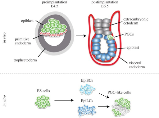 Embryonic origin of PGCs in vivo and PGC derivation in vitro. The preimplantation blastocyst at E4.5 consists of the embryonic lineage, the epiblast, and two extraembryonic lineages, primitive endoderm and trophectoderm. After implantation at E6.5, signalling from the extraembryonic ectoderm as well as from the visceral endoderm induces a few cells of the proximal epiblast to become PGCs. In vitro, ES cells, which are derived from the preimplantation epiblast, can be differentiated into epiblast-like cells (EpiLCs) with Activin A and basic fibroblast growth factor. EpiLCs, in turn, respond to BMP4 to give rise to functional PGC-like cells. Epiblast stem cells (EpiSCs), which are traditionally derived from the postimplantation epiblast, also give rise to PGC-like cells, but at a low frequency. (Online version in colour.)