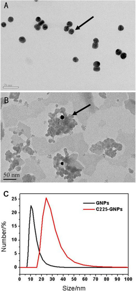 Representative transmission electron microscope (TEM) images of (A) bare gold nanoparticles (AuNPs) with an average diameter of 14 nm and (B) Cetuximab-conjugated gold nanoparticles (C225-AuNPs). (C) The hydrodynamic size of AuNPs and C225-AuNPs measured by dynamic light scattering (DLS).