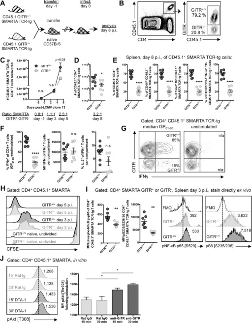 GITR co-stimulation activates classical NF-κB and the Akt-mTORC1 signaling axis to regulate CD4 T cell accumulation post-priming.(A, B) C57BL/6 mice received a 1:1 mixture of GITR+/+ and GITR-/- SMARTA, and were infected the following day with LCMV cl 13. At day eight p.i., proportions of GITR+ and GITR- cells were evaluated, with gating strategy shown in B. (C) 106 or (D) 104 GITR+/+ and GITR-/- CFSE-labeled CD45.1+ SMARTA from F2 littermates were co-transferred into naïve CD45.2 C57BL/6 mice one day prior to LCMV cl 13 infection. The total numbers of GITR+ and GITR- SMARTA cells in the spleen at different time points following LCMV cl 13 infection are shown. Each symbol in C shows mean ± SEM of at least two to three mice per group, representative of at least two experiments per time point. (E) Proportions of GITR+ and GITR- of: total, CD44hi, T-bet+ Th1, and Tfh SMARTA were evaluated in the spleen at day eight p.i. (F) The proportions of IFNγ+ or IFNγ+IL-2+, and the quantity of IFNγ produced per cell were evaluated in GITR+ and GITR- SMARTA CD4 T cells following five hours of GP61–80 peptide restimulation, with representative staining shown in G. (H) 106 GITR+/+ and GITR-/- CFSE-labeled CD45.1+ SMARTA from F2 littermates were co-transferred into naïve CD45.2 C57BL/6 mice. At days three and five p.i., CFSE dilution was evaluated. (I) 106 GITR+/+ and GITR-/- CD45.1+ SMARTA from F2 littermates were co-transferred into naïve CD45.2 C57BL/6 mice as in A. At day three post-infection, cells were stained directly ex vivo for (p) p65 NF-κB pSer529 and (p)S6 ribosomal protein pSer235/236. (J) Activated GITR+/+ SMARTA were expanded for two days and then serum starved for 12 hours prior to engaging with 10μg/mL anti-GITR (cone DTA-1) or Rat IgG, followed by evaluation of phosphorylation at Thr308 of Akt. MFI of pThr308 following stimulation is shown, representative of three independent experiments. Numbers adjacent to the representative histograms of I and J are median MFI values. Each symbol in D–G represents an individual mouse, with bars indicating mean ± SEM. Data are pooled from two experiments with a total of eight mice. Data in H show a single representative experiment with two-three mice per group, with at least two independent repeats. Data in I are pooled from two independent experiments with a total of seven mice.