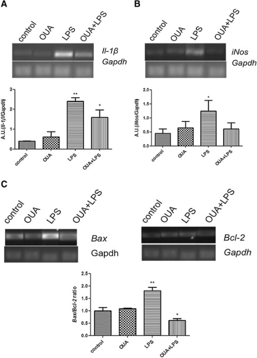 Effects of pretreatment of ouabain (OUA) (1.8 μg/kg) in the lipopolysaccharide (LPS) (200 μg/kg) inflammation model on the mRNA levels ofIl-1β, iNos, Bax, andBcl2. Pretreatment of OUA can decrease the mRNA levels of pro-inflammatory cytokines and pro-apoptotic proteins. Representative semiquantitative RT- PCR photographs and densitometric analysis (arbitrary units, AU) of the specific bands. mRNA levels are presented as ratios of the target gene to Gapdh expression. Data are presented as mean ± SEM from five individual experiments. One-way ANOVA followed by Newman-Keuls post-test. (A)Il-1β mRNA,*P < 0.05 versus control and OUA and **P < 0.01 versus control and OUA and OUA + LPS. (B)iNos mRNA, *P < 0.05 versus control and OUA + LPS. (C)Bax/Bcl2 ratio,**P < 0.001 versus OUA, control and OUA + LPS and *P < 0.05 versus OUA.