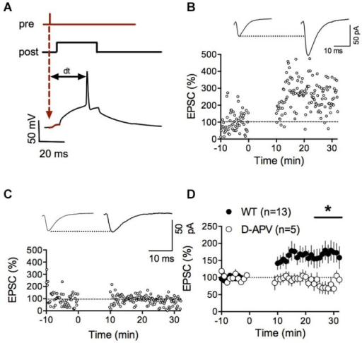 NMDAR-dependent spike timing-dependent potentiation (LTP) in accumbens medium spiny neurons. (A) Schematic representation of the pre-post protocol used to induce LTP. After the presynaptic stimulation the postsynaptic cell was depolarized for 30 ms to elicit an action potential. The time delay between presynaptic stimulation and the elicited spike was set to 25 ms. (B) Representative experiment illustrating the induction of LTP. Inset shows EPSCS sampled during the 10 min baseline and 20 min after LTP induction respectively. (C) Representative experiment showing that LTP in WT mice was abolished by the application of the NMDAR-antagonist D-APV (50 μM). (D) Summary of LTP experiments with (white circles) and without D-APV (black circles). LTP was blocked by application of 50 μM D-APV (p = 0.0441 Mann-Whitney test).