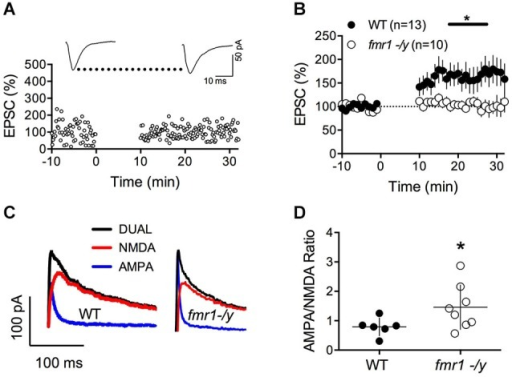 Lack of LTP and augmented AMPA/NMDA ratio in accumbens MSN of fmr1-/y mice. (A) Representative experiment illustrating the lack of LTP in fmr1-/y mice. Inset shows EPSCs averaged over 10 min baseline and 20 min after the induction protocol respectively. (B) Averaged time-courses of LTP experiments for both genotypes. LTP was absent in fmr1-/y mice (p = 0.0415 Mann-Whitney test) (C) Representative current traces of a wild type (left) and fmr1-/y (right) MSN voltage clamped at −40 mV to illustrate the computation of A/N ratios. Black: Dual AMPA and NMDA response. Blue: isolated AMPA response after application of d-APV (50 μM). Red: NMDA response extracted via subtraction of AMPA response from the dual response. (D) A/N ratios were larger in fmr1-/y mice (p = 0.043, Mann-Whitney test).