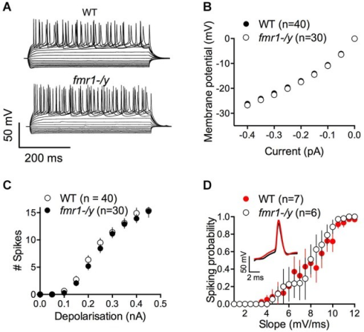 Similar excitability profile in wild-type and fmr1-/y medium spiny neurons. (A) Representative traces of voltage responses to somatic current injections of a wild-type (upper panel, WT) and fmr1-/y (lower panel) medium spiny neuron. (B) The voltage responses to hyperpolarizing current pulses revealed no differences in input resistance or inward rectification between the two genotypes (p = 0.2770, two way ANOVA; WT n = 40, black symbols; fmr1-/y n = 30, white symbols). (C) The number of action potentials as a function of depolarizing current injections was similar (p = 0.1272, two way ANOVA). (D) The firing probability plotted as a function of the EPSP slope revealed no changes in the Excitation-Spike coupling (p = 0.1488, two way ANOVA; WT n = 8, black symbols; fmr1-/y n = 5, white symbols).