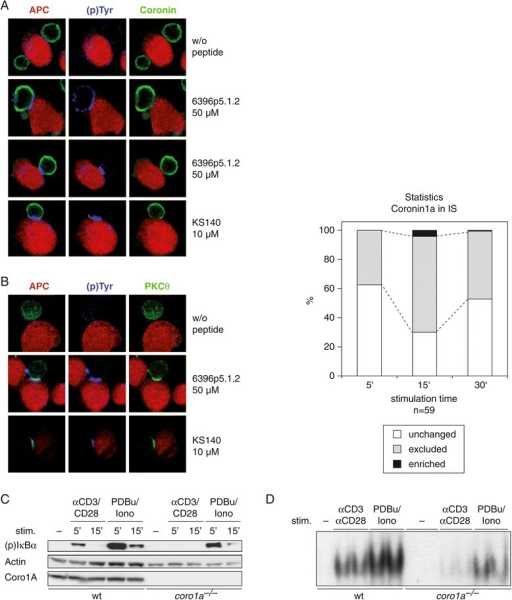 Coro1A is not recruited into the IS and its gene ablation strongly reduces NF-κB responses. (A, B) Confocal microscopy of Coro1A and PKCθ in primary human T cells. A T cell clone (KS140) specific for the tetanus toxin peptide (TT830–843; QYIKANSKFIGITE) and a T cell clone (6396p5.1.2) specific for the measles virus fusion protein peptide (F254–268; GDLLGILESRGIKAR) were used with autologous Epstein–Barr virus (EBV)-transformed B cells as APC. Quantification of Coro1A subcellular localization on 59 synapses is shown as bar graph. (C) CD3+ T cells were isolated from either wild-type or Coro1a knockout mice. After 2 hour resting ex vivo the cells were stimulated with soluble anti-CD3/CD28 and cross-linking anti-hamster IgG antibodies or PDBu for 5 and 15 minutes. Whole cell lysates (supplemented with phosphatase inhibitor) were subjected to SDS-Page and immunoblotting against phosphorylated IκBα, actin and Coro1A. (D) CD3+ T cells were isolated and stimulated as described in (C), but the stimulation time was increased to 8 hours. Nuclear extracts were prepared and analysed by electromobility shift assays (EMSA) for NF-κB binding to DNA. Experiments were repeated at least two times, with similar results.