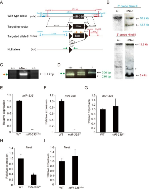Generation of miR-335 deficient mice.(A) Design of constructs used for generation of miR-335 deficient mice. The miR-335 genomic locus was replaced by a floxed neomycin-resistance cassette (loxP-Neo-loxP) to obtain miR-335+/Neo mice. miR-335+/- mice (+/-) were generated by crossing male miR-335+/Neo mice with female CAG-cre transgenic mice. (B) Southern blot analysis of WT and G418 resistant ES clones with 5' and 3' probes. †: Non-specific band. (C and D) PCR analysis for targeted allele with genomic DNA in tails of WT (+/+), miR-335+/Neo (+/Neo), and miR-335+/- mice (+/-). In (C), an insertion and a deletion of a floxed neomycin-resistance cassette in genomic DNA of miR-335+/Neo (+/Neo) and miR-335+/- mice (+/-), respectively, were detected with PCRs amplified with primers shown in Fig 2A (Orange and Green arrows). In (D), a PCR analysis to distinguish alleles for WT (+/+), miR-335+/- (+/-), and miR-335-/- mice (-/-) was shown. The WT allele-specific (280 bp) and the mutant allele-specific (306 bp) bands were amplified with the primers shown in Fig 2A (Green arrow). (E, F and G) qRT-PCR for miR-335 was performed in TA muscles isolated from WT, miR-335+/Neo, and miR-335+/- or miR-335-/+ mice (n = 3 per genotype). (H and I) qRT-PCR for Mest mRNA was performed in TA muscles of WT, miR-335+/-, and miR-335+/Neo mice (n = 3 per genotype). Expression of Mest mRNA and that of miR-335 are normalized to Gapdh and snoRNA-202, respectively. Error bars indicate the s.e.m. *P < 0.05, **P < 0.01, ***P < 0.001.