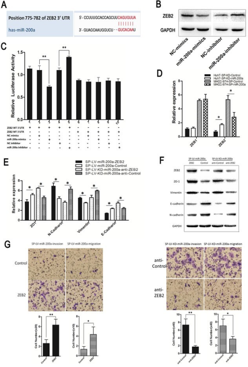 MiR-200a induces the metastasis of SP cells through the transactivation of ZEB2 expression(A) The miR-200a target site in the 3′UTR of ZEB2. (B) The up-regulation or down-regulation of miR-200a in MHCC-97H demonstrated an effect on ZEB2 according to western-blot. (C) Luciferase activity of ZEB2 after transfection with miR-200a mimics or an inhibitor. (D) Functional evaluation of miR-200a induction on its validated target, ZEB, in different groups by qRT-PCR. (E) Real-time PCR and (F) western-blot were used to detect the expression of EMT markers. (G) Following the infection of the MHCC-97H-SP-miR-200a cells and Huh7-SP-KD-miR-200a cells with ZEB2 siRNA and the designated SP-ZEB2 and SP-anti-ZEB2. The cell invasion and migration capacities were assessed with a transwell assay. *p < 0.05, **p < 0.01, t test.