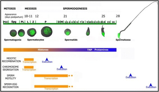 Representation of the transcription and execution times of four selected GO categories. The diagram represents the time when the biological processes shown in the heat maps in Figs. 4c and 5c are transcriptionally activated, and when these processes are executed along the first spermatogenic wave in mouse. The onset (in dpp) for the different stages along the first spermatogenic wave is denoted on top. The time of histone substitution - first by TNP and then by PRM - is also represented. PGC: primordial germ cells; Spg: spermatogonia; PL: preleptotene; L: leptotene; Z: zygotene; P: pachytene; D: diplotene; M: meiotic divisions