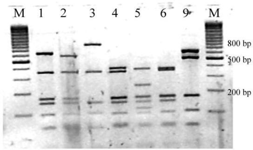 RsaI restriction patterns of amplified mycobacterial 16S rRNA genes. Legend: M: marker (100 base pair ladder, Fermentas, Vilnius, Lithuania)