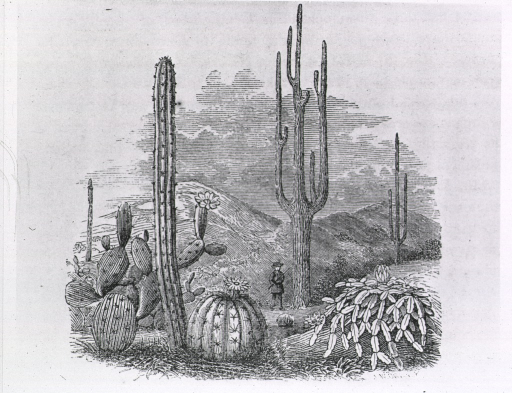 <p>A man is standing amongst a variety of large cacti.</p>