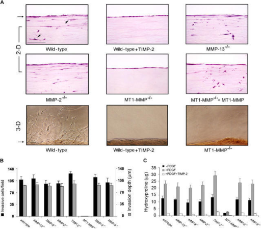 Fibroblast MT1-MMP mediates collagen-invasive activity. (A–C) Wild-type and  fibroblasts were cultured atop type I collagen gels (2.2 mg/ml; top two rows, 2-D) or within three-dimensional collagen gels (2.2 mg/ml; bottom row) in 10% serum and stimulated with a PDGF gradient (10 ng/ml) for 6 d in the absence or presence of TIMP-2. The arrow to the left of the panels marks the surface of the collagen monolayer or the edge of the embedded island of fibroblasts. Arrows within the gel indicate positions of invading fibroblasts. Bars, 100 μm. Invasion (B) and collagen degradation (C) were quantified in three-dimensional collagen gels in the presence of 10% wild-type serum save for experiments with MMP-2−/−, MMP-9−/−, or TIMP-2−/− fibroblasts, where  serum was isolated from each of the respective mouse strains. Results are expressed as the mean ± 1 SEM of three or more experiments.