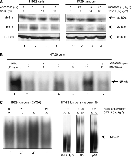 In vitro and in vivo effect of AS602868 combined with CPT-11/SN-38 on the NF-κB pathway. (A) IκB-α phosphorylation levels were studied by western blotting either on lysates of HT-29 cells that were stimulated 30 min with indicated concentrations of AS602868 and SN-38 or in tumours from mice treated as indicated. HSP60 was used as loading control. (B–C) NF-κB activation was visualized by EMSA. HT-29 cells were treated with indicated concentrations of AS602868, 30 min before stimulation with SN-38 (3 and 10 nM) for 1 h or with PMA (10 ng ml−1) for 1 h as positive control. These results correspond to one representative experiment from 3. In supershift experiments, nuclear protein extracts of tumours from CPT-11 and AS602868±CPT-11-treated mice were incubated with anti-p50 and anti-p65 antibodies or rabbit IgG as negative control.