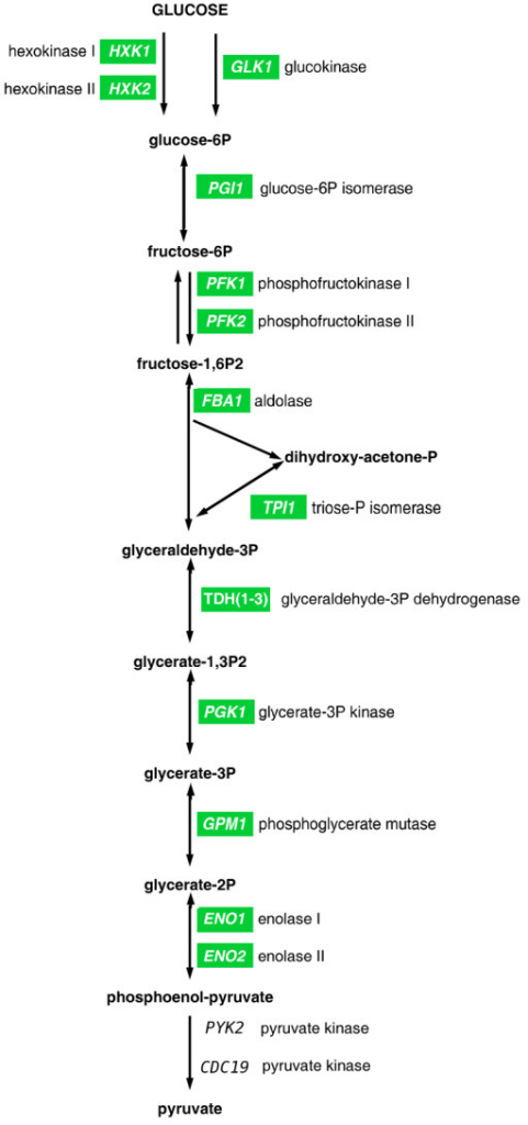 Scheme of the glycolytic pathway. Genes codifying for the enzymes implicated in each step are detailed; green labels indicate genes whose expression was reduced upon daunorubicin treatment.