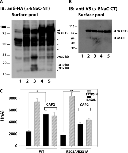 Effect of α-R205A/R231A, β-, and γ-ENaC mutant on INa and fragments stimulated by CAP2. (A and B) Surface biotinylated α-ENaC N-terminal and C-terminal fragments were visualized by Western blot analysis using anti-HA or anti-V5 monoclonal antibodies. (A) Many nonspecific (*, NS) bands evident in film overexposed to reveal the fate of the furin (32 kD) and novel fragments (19 and 17 kD). FL, full-length. Lane 1, uninjected eggs; lane 2, WT ENaC alone; lane 3, WT ENaC plus CAP2; lane 4, α-R205A/R231A, β-, and γ-ENaC alone; lane 5, α-R205A/R231A, β-, and γ-ENaC plus CAP2. (C) CAP2-mediated INa of WT or mutant channels were measured as described above. Batches of oocytes were extracted from five different frogs (n = 31). Results are expressed as the means ± SE. * and **, P < 0.0001. Statistical significance was determined using an unpaired Student's t test.