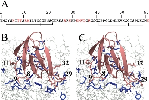 (A) The amino acid sequence of Fas, showing the four intra-chain disulphide bridges and the interfacial residues chosen for redesign. (B) The Fas/TcAChE binding interface before redesign; (C) The Fas/TcAChE binding interface after redesign. Fas (pink) sits at the entrance of the narrow gorge leading to the active site of TcAChE (gray). The side-chains on Fas and TcAChE selected for computational optimization are displayed as pink and blue sticks, respectively. The numbers are shown for the Fas residues for which affinity-enhancing mutations had been predicted.