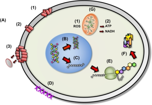 The proposed diverse mechanistic modes of action for antimicrobial peptides in microbial cells.(A) Disruption of cell membrane integrity: (1) random insertion into the membrane, (2) alignment of hydrophobic sequences, and (3) removal of membrane sections and formation of pores. (B) Inhibition of DNA synthesis. (C) Blocking of RNA synthesis. (D) Inhibition of enzymes necessary for linking of cell wall structural proteins. (E) Inhibition of ribosomal function and protein synthesis. (F) Blocking of chaperone proteins necessary for proper folding of proteins. (G) Targeting of mitochondria: (1) inhibition of cellular respiration and induction of ROS formation and (2) disruption of mitochondrial cell membrane integrity and efflux of ATP and NADH.