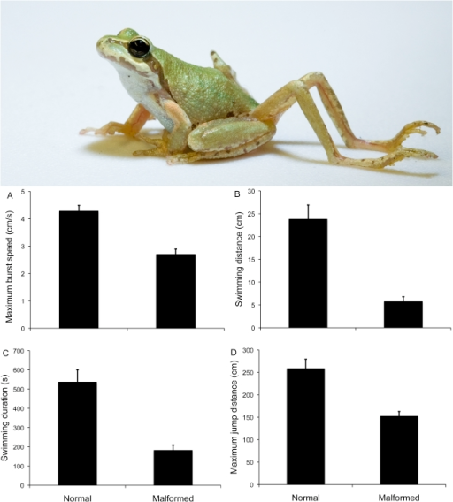 Effects of limbs malformations on the locomotory performance of Pacific chorus frogs (P. regilla) in laboratory trials.Above: chorus frog with parasite-induced limb malformation. Below: presented are the results of trials measuring (A) maximum burst swim speed, (B) maximum swimming distance, (C) maximum endurance time, and (D) maximum jump distance.