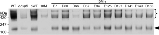 Acidic residues of BxpB that can serve as sites for covalent attachment of BclA. Formation of >250-kDa BclA/BxpB-containing exosporium protein complexes formed by the indicated strains was detected by immunoblotting with an anti-BclA MAb. The strains examined were Sterne (wild type [WT]), a Sterne mutant lacking bxpB (∆bxpB), and variants of the ∆bxpB mutant that carried a plasmid directing the correctly timed expression of wild-type BxpB (pWT) and the indicated mutant BxpB proteins. In the 10M mutant protein, all acidic residues except D5, D12, and E14 were changed to alanines; in the 10M+D/E mutant proteins, all acidic residues except D5, D12, E14, and the indicated D/E residue were changed to alanines. Only the part of the immunoblot containing bands is shown, and the gel locations and molecular masses of prestained protein standards are indicated. The arrowhead points to the band containing glycosylated monomeric BclA, and the brace marks the >250-kDa BclA/BxpB-containing complexes (13).