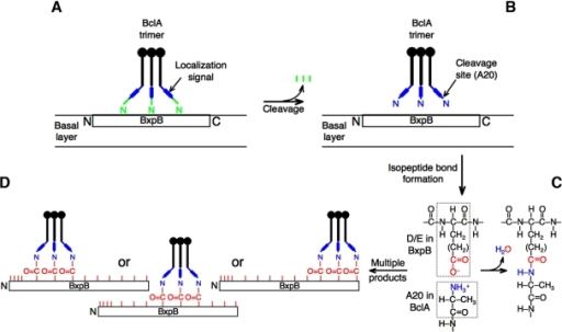 Model for the formation of isopeptide bonds that attach BclA to BxpB during exosporium assembly. (A) BclA NTD localization signals direct the binding of a BclA trimer to BxpB present in the basal layer of the exosporium. (B) Each NTD of a bound BclA trimer is proteolytically cleaved between residues S19 and A20, which produces a new and reactive amino terminus. The protein(s) required for cleavage remains to be identified. (C) The amino group of BclA residue A20 forms an isopeptide bond with an appropriately positioned side chain carboxyl group of an internal BxpB acidic residue. (D) Each strand of the BclA trimer can form an isopeptide bond with 1 of 10 acidic residues of BxpB, with each trimer presumably attaching to 3 neighboring acidic residues. There is no requirement, however, that all strands of the BclA trimer participate in isopeptide bond formation. The 13 acidic residues of BxpB are represented by red tick marks, and their positions within the protein are approximate.