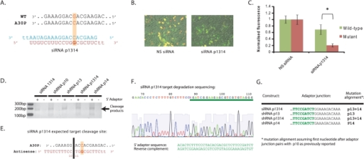 Determination of A30P mutation alignment with siRNA and 5′RACE.A) siRNA design with A30P mutation aligned opposite P13 of the antisense species, and secondary mismatch to the wild-type α-synuclein allele at P14. B) Representative merged fluorescent images of HEK-293 cells co-transfected with the Het-A30P plasmid siRNA-1314 at 48 hrs post-transfection. C) Quantification of wild-type α-synuclein eGFP (green bars) or A30P mutant α-synuclein mCherry (red bars) fluorescence at 48 hrs post-transfection following co-transfection of siRNA-1314 with the Het-A30P plasmid. Values represent mean ratios of normalized fluorescence +/− S.D. from n = 6. Values are normalized to respective fluorescence in cells transfected with non-specific siRNA. * = P<0.05 relative to respective normalising control. D) Visualisation of PCR products following 5′RACE using RNA from cells transfected with mCherry-tagged A30P mutant α-synuclein and stated constructs. Products were run on a 2% agarose gel. E) Expected target cleavage site for siRNA-1314. F) Sequencing of siRNA-1314 PCR product following 5′RACE. G) Mapping of 5′ adaptor ligations sites, determination of target cleavage sites and determination of A30P mutation alignments in stated constructs.