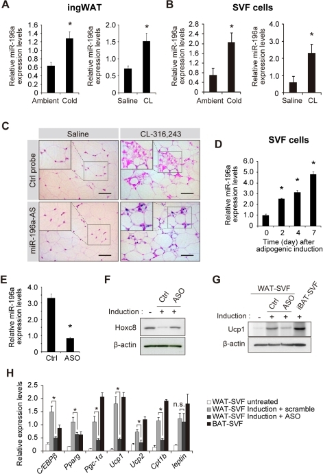 miR-196a is induced in SVF cells during brown adipogene | Open-i