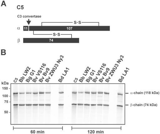 Determination of the C5 proteolytic activity of B. valaisiana.(A) Schematic representation of the α-, and β-chain of C5. (B) Degradation of C5 by an intrinsic proteolytic activity of spirochetes (5×108) was analyzed by detection of potential cleavage products after incubation of cells with purified C5. B. burgdorferi LW2, B. garinii G1, B. valaisiana isolates Bv9, VS116, ZWU3 Ny3, and B. duttonii LA1 were incubated with 1 µg C5 for 60 min and 120 min at 37°C. After centrifugation, supernatants were subjected to 10% tris/tricine SDS-PAGE and transferred onto a nitrocellulose membrane. The C5 fragments were visualized by Western blotting using a polyclonal goat anti-human C5 antiserum. As a negative control, purified C5 (1 µg) was incubated under the same conditions. The mobility of the 118 kDa α-chain and the 74 kDa β-chain is indicated.