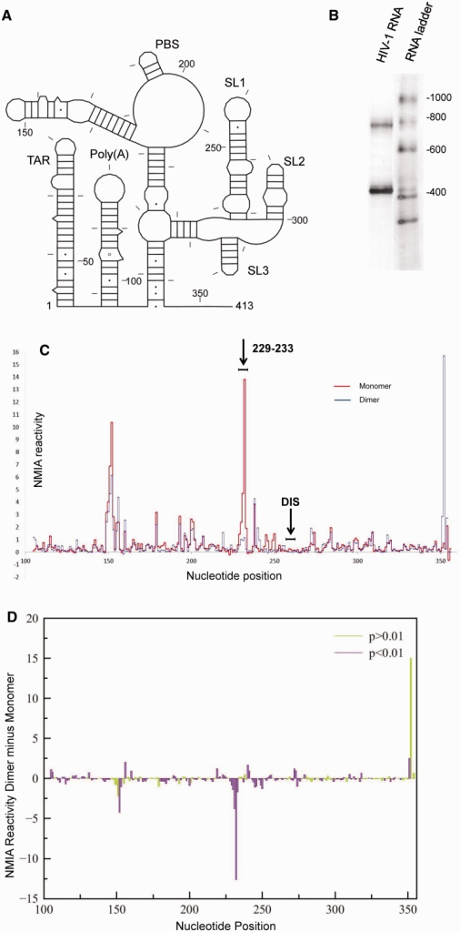 In-gel SHAPE of monomeric and dimeric HIV-1 packaging signal RNA shows significant differences in reactivity between monomer and dimer. (A) Schematic diagram of the HIV-1 RNA examined. Nucleotides are numbered every 50 bases and marked every 10 bases. (B) Ethidium bromide-stained polyacrylamide gel slice showing HIV-1 RNA monomer and dimer excised for probing. (C) NMIA reactivity of monomer (red) and dimer (blue) for nucleotides 100–354. The position of the 6 nt DIS is marked above. Results are an average of 7–10 independent experiments. (D) Plot of average SHAPE reactivity of the monomer subtracted from the average NMIA reactivity of the dimer at each nt position. Colour shows statistical significance by t-test, where purple bars are statistically significant and green are not significant, to P < 0.01.