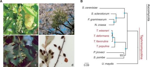 Taphrina infection symptoms and phylogeny. (A) Leaf curl (a), witches' broom (b), leaf spots (c), and deformed fruits (d) that were caused by four different Taphrina species indicated by arrows. (a) Image no. 5435623: Yuan-Min Shen, Taichung District Agricultural Research and Extension Station, Bugwood.org; (c) image no. 3046084: Theodor D. Leininger, USDA Forest Service, Bugwood.org. (B) A maximum-likelihood phylogeny of four Taphrina species and seven other fungi from 75 single copy orthologs. Blue dots indicate 100% bootstrap support.