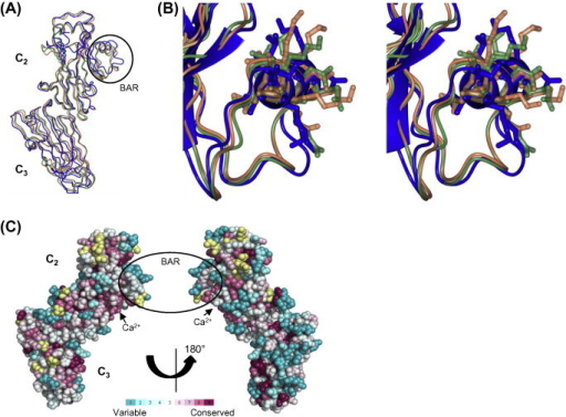 Comparative structural and evolutionary conservation analyses of AspA-C2–3. (A) Superposition of the AspA-C2–3 structure (blue) with the structures of SspB-C2-3 from S. gordonii (orange, PDB: 2WOY) and SpaP-C2–3 from S. mutans (green, PDB: 3OPU). The BAR (SspB Adherence Region), recognized by P. gingivalis short fimbrial protein Mfa1, is highlighted by a black circle and is shown in more detail as a stereo image in (B) together with a sequence alignment of the BAR helix. (C) Space filling model representation of evolutionary conservation analyses for AspA-C2–3 performed using ConSurf [25]. The level of conservation of individual amino acids is indicated from variable (turquoise, 1) to highly conserved (maroon, 9) according to the color coding bar. Positions for which the level of conservation was assigned with low confidence are marked with yellow color. (For interpretation of the references to colour in this figure legend, the reader is referred to the web version of this article.)
