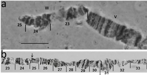 a) The short translocation fragment representing the Y-2 chromosome of mitotic metaphases or Y-III of polytene chromosomes. b) Reference map of chromosome III showing the region involved in translocation; arrow in the map shows the position of the breakpoint. Bar = 10µm