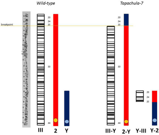 Schematic representation of the correlation between mitotic chromosome 2 and polytene chromosome III in wild-type and Tapachula-7 strain showing the induced translocation in mitotic (2-Y) (Y-2) and the respective polytene chromosome (III-Y) (Y-III). Y represents sex chromosome.
