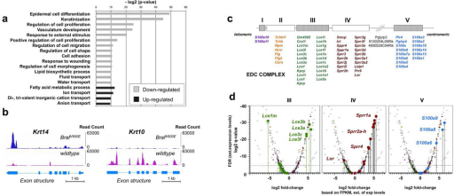 RNA-sequencing identifies the fate of epidermis in BrafV600E mutant mice and persistence of EDC gene expression(a) Functional classification of genes differentially expressed in E17.5 K14-cre; BrafV600E epidermis, demonstrating number of genes and statistical significance of their association. (b) Read coverage of wildtype vs. K14-cre; BrafV600E transcripts across the mouse Krt14 and Krt10 loci. (c) Intermediate and late differentiation genes clustered in the EDC locus and close proximity of closely related paralogs. (d) Volcano plots of relative expression of all EDC group genes from pooled wildtype vs. K14-cre; BrafV600E embryos. Specific groups of EDC genes, LCE-like (green), SPRR-like (red), and S100 family genes (blue), are colored and shown as balloons in respective cluster III, IV and V. The levels of gene expression in RNA-seq are estimated from (b) and have associated log2 q-values or FDRs (vertical axis) for this estimate. Note: this q-value does not reflect sample variance since specimens have been pooled.